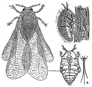 Dactylosphaera_vitifolii_1_meyers_1888_v13_p621